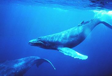 blue-whales